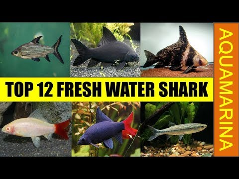 Top 12 Fresh Water Shark For Fish Tank Aquarium | Fresh Water Shark Varieties || Aqumarina