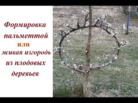 Формировка деревьев в виде пальметты