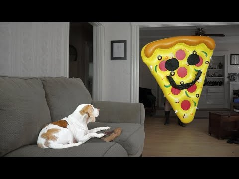 Dog vs Giant Pizza Slice: Funny Dog Maymo