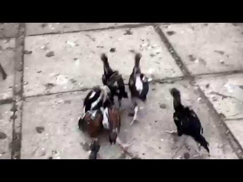 Month old Chicks gang fight ( Aseel, Asil ,Ganoi,Thai qaib ,Brasilian,Sonee line)