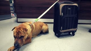 Dog Abandoned & Tied To Suitcase At Scottish Train Station Finds Happy Ending.