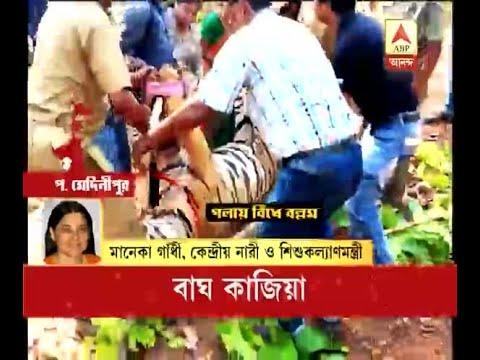 Maneka Gandhi attacks Bengal govt on the wake of tiger death at LalgarhManeka Gandhi attac
