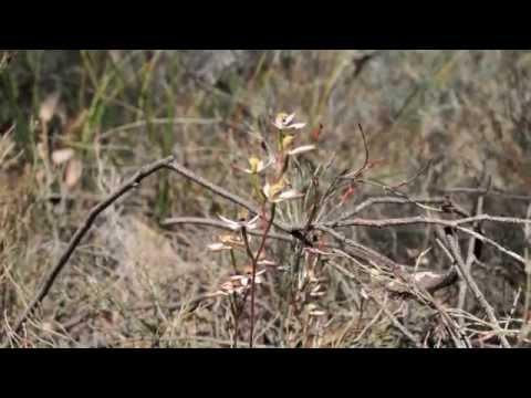 Flora Little Desert