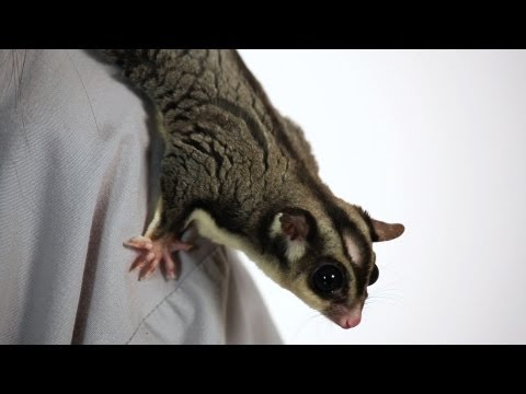 How Much Does a Sugar Glider Cost? | Sugar Gliders