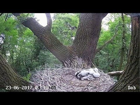 2017/06/23 04h18m Poland Lodz~Strange stork flies to another branch~