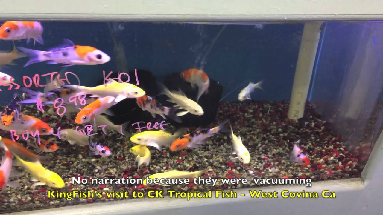 Very Good Calif Tropical Fish Store for African Cichlids, Freshwater ...