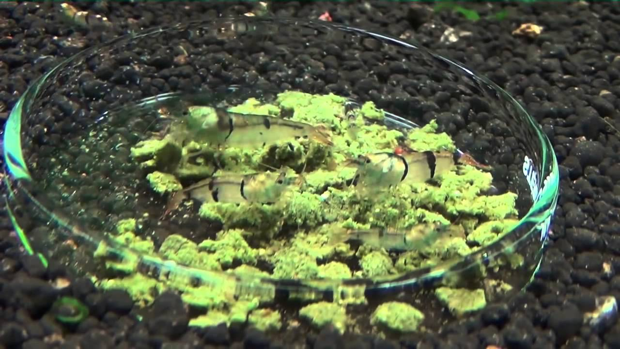 De voerplaats een tijdbom in het Garnalen aquarium    YouTube