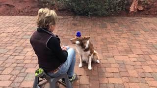Beckett AKC Novice Trick Dog Title Tricks