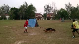 German Shepherd Dog Training In Malaysia