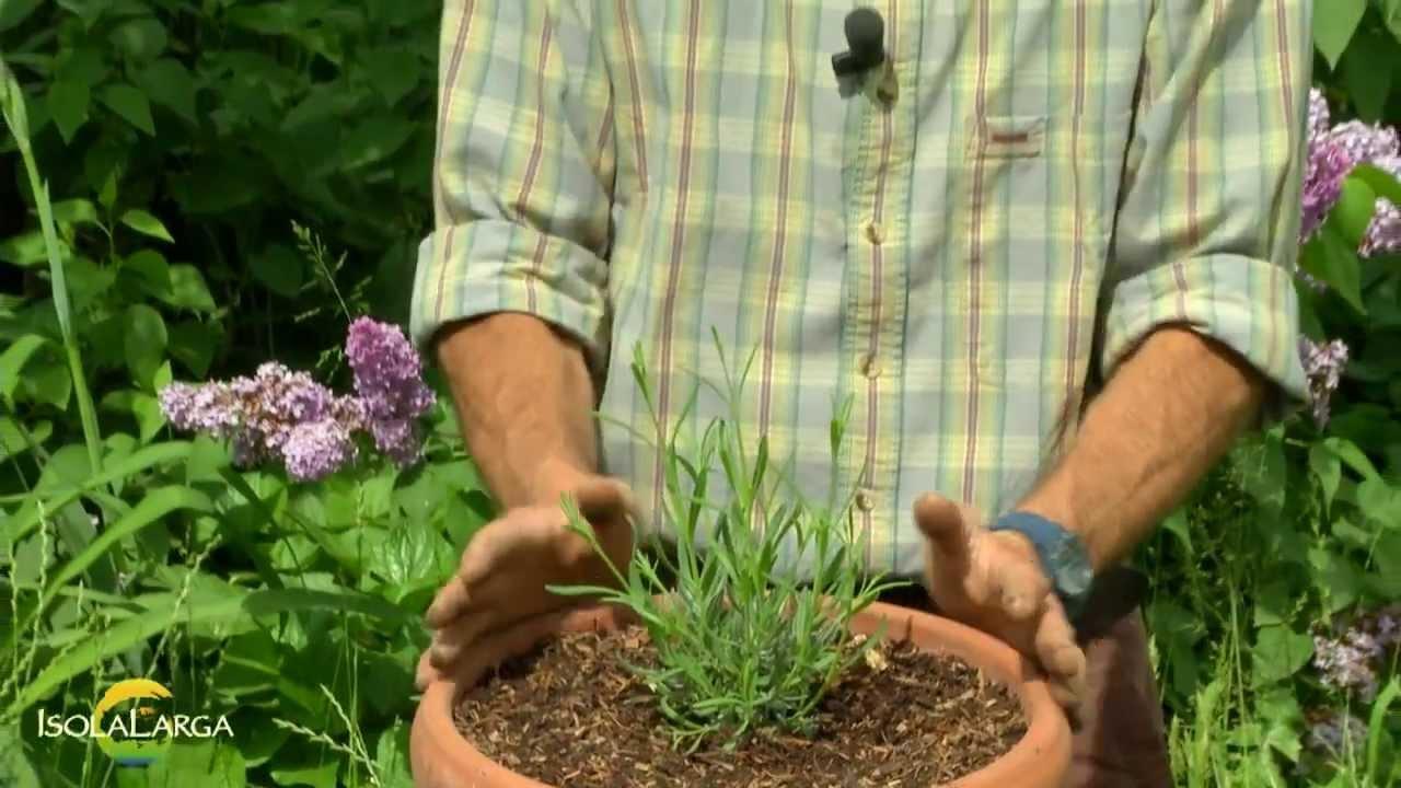 Lavanda officinalis coltivazione in vaso youtube for Lavanda coltivazione in vaso