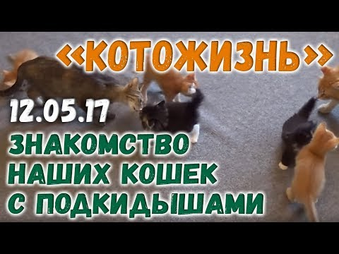 знакомство взрослых кошек