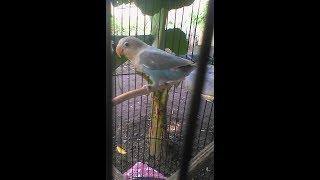Lovebird paud paruh putih fighter belajar ngekek penuh gaya umur 2,5bln