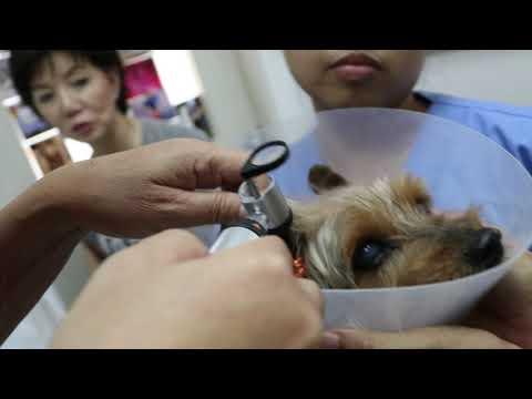 The 11-year-old Silkie Terrier has bad breath and 2 skin tumours. Pt 1/3