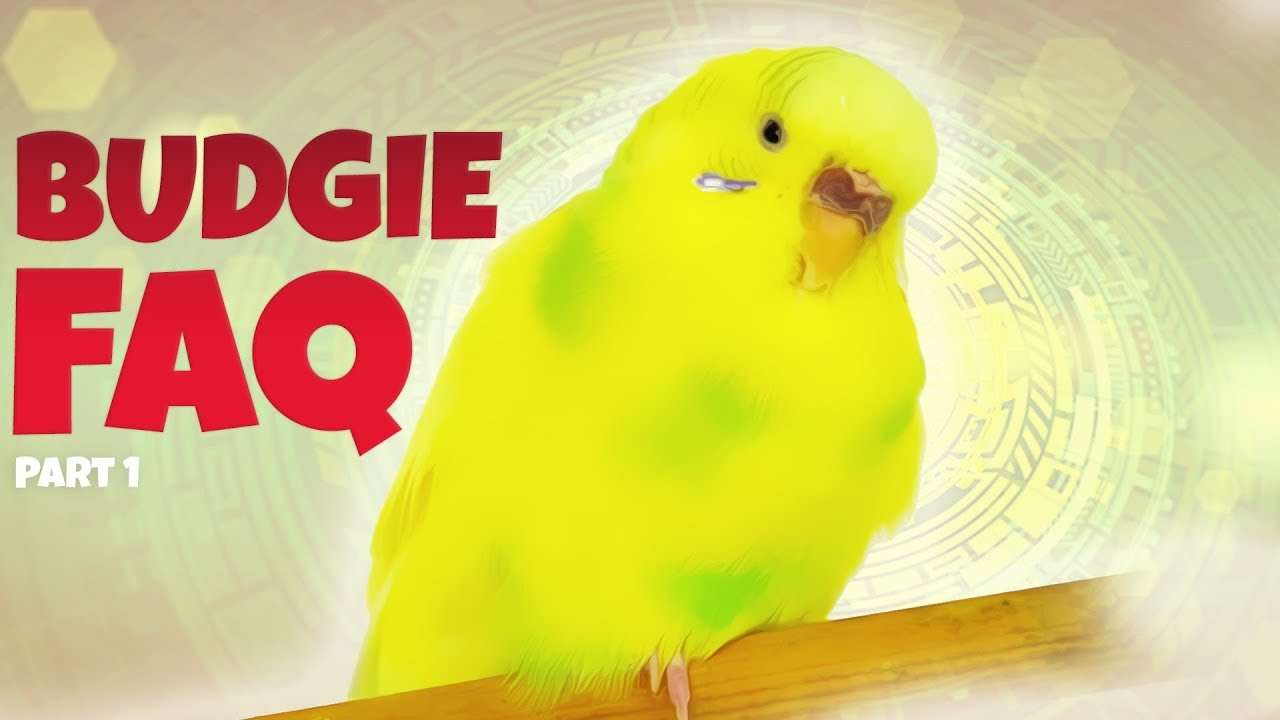Most Asked Budgie Questions | Part 1 | How To Feed Budgies?
