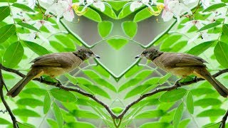 Tiếng chim Trao Trảo hót – tiếng chim Hoành Hoạch kêu chuẩn nhất
