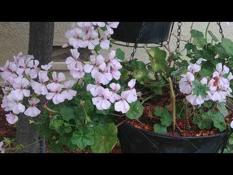 How to Grow Geranium Ivy from Cuttings