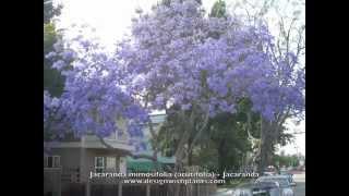 Jacaranda mimosifolia (acutifolia) - Jacaranda