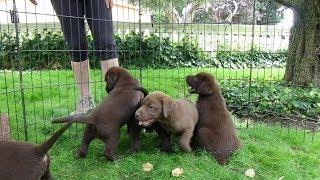 Chocolate Labrador Puppies 7 Weeks