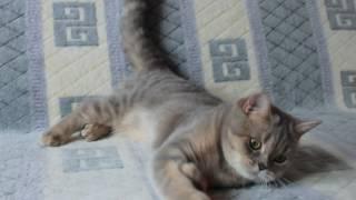 Шотландские котята из питомника редких окрасов