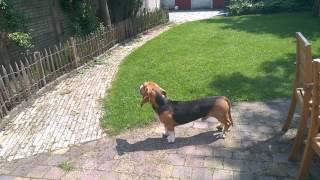Louie de Franse basset vindt luchtalarm niet leuk