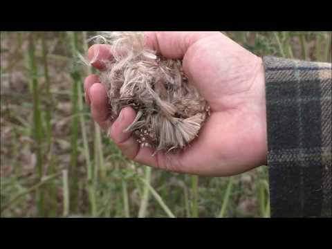 Collecting downy flower heads for use as a tinder