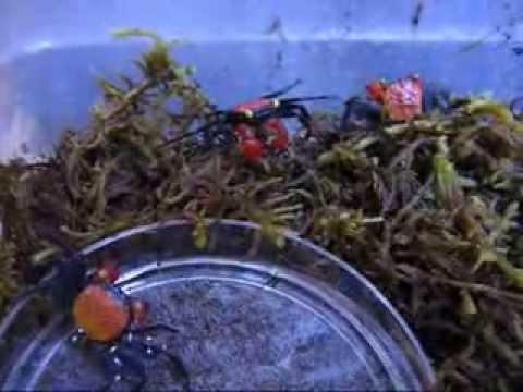 Paludarium Creatures Crabs 2 Tropical Hobbies