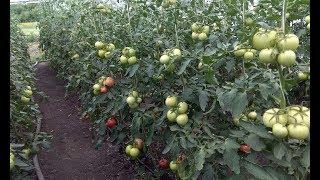 Обзор томатов - цены, сорта, урожай, рабочие моменты.