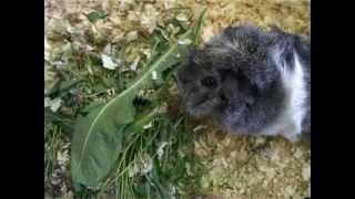 Болезни морских свинок. Лечение морских свинок.(http://dingo66.ru - ветеринарная клиника