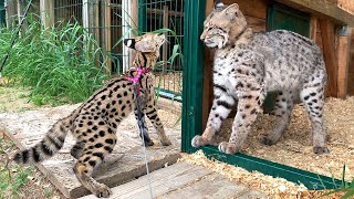 COUGAR AND BOBCAT RUFUS REACTIONS ON SERVAL / Meowrizio makes fluffy tail