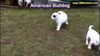 American Bulldog, Puppies, For, Sale, In, Allegheny, Pennsylvania, Pa, Bucks, Chester, County, Berks
