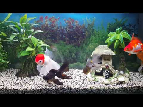 Poissons Japonais Goldfish : Ryukin , Blue Oranda Red Cap , Black Moor ( Téléscope Noir )