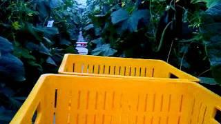 Na ogórkach w Holandii :-(