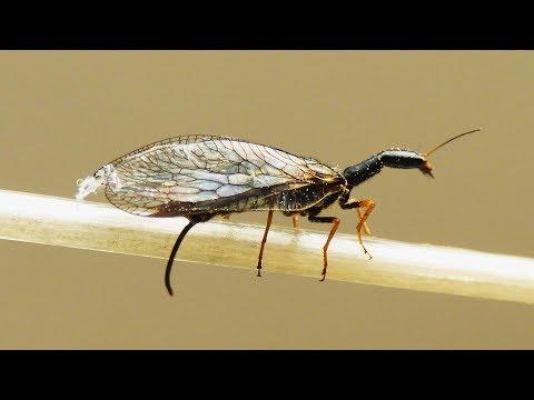 Dlouhošíjka žlutonohá - Yellow-footed snakefly (Dichrostigma flavipes)