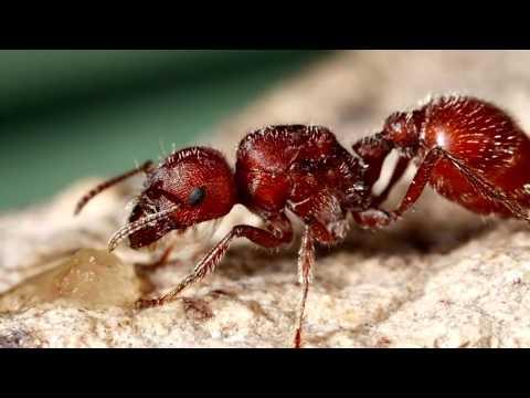 Кочевые муравьи сиафу кочевники фото описание доклад