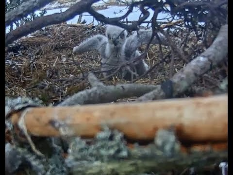 Smola Norway Eagle Cam ~ Cuteness Overload ~ Feather Toy; Flapping ...