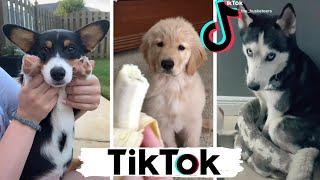 TIK TOK Doggos That Will Make You Laugh ~ Cutest TikTok Puppies ~ Dog Squad