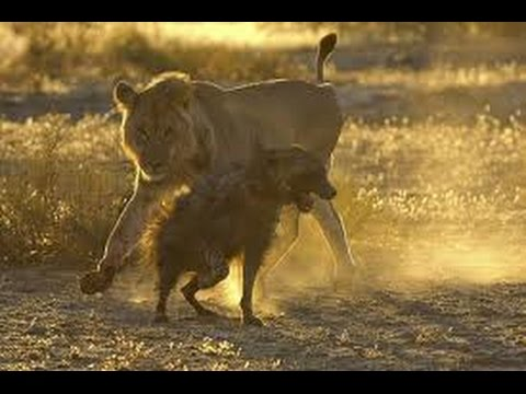 Watch this lion attack hyena brutality !