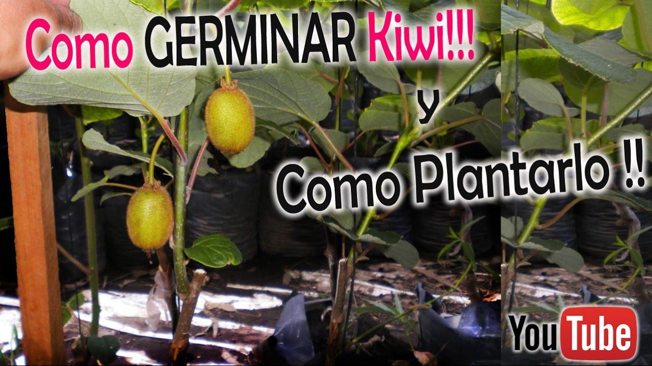 Como germinar kiwi y como plantarlo youtube for Como plantar patatas en casa