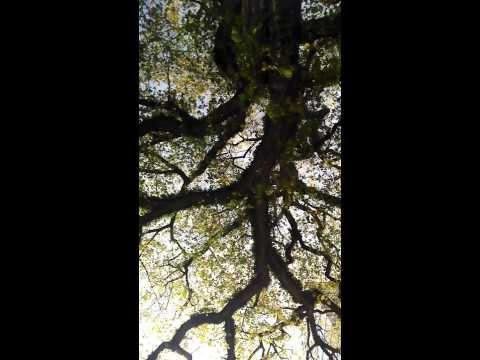 American elm Ulmus americana)