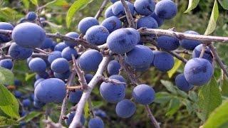 Тёрн колючий Prunus spinosa