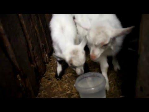 Выращивание и кормление козлят.