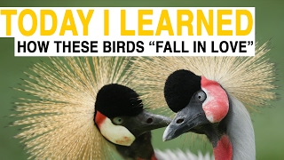 TIL: How to Play Matchmaker for Beautiful, Endangered Birds | Today I Learned