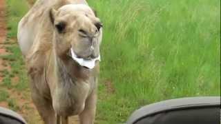 The Spitting Camel (DAVE EAGAR)