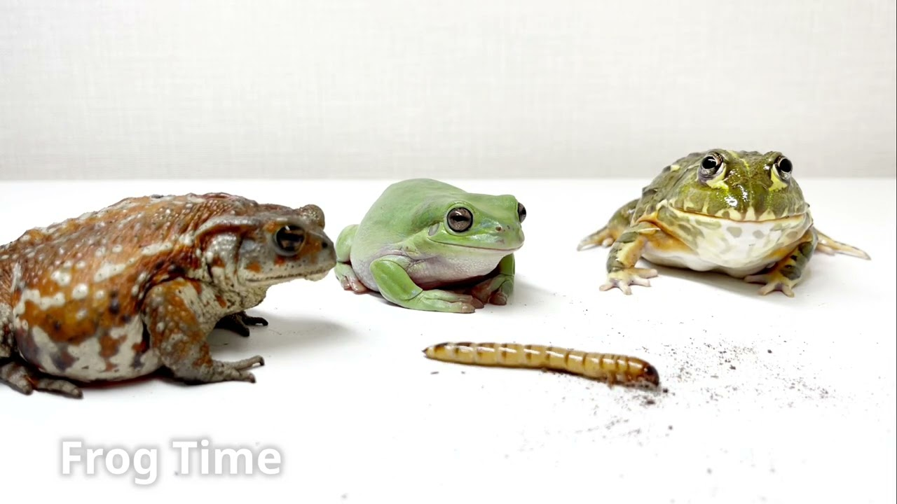Relationship with the African bullfrog. Give a giant mealworm.