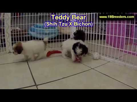 Teddy Bear, Puppies, Dogs, For Sale, In Chicago, Illinois, IL, 19Breeders, Rockford, Naperville