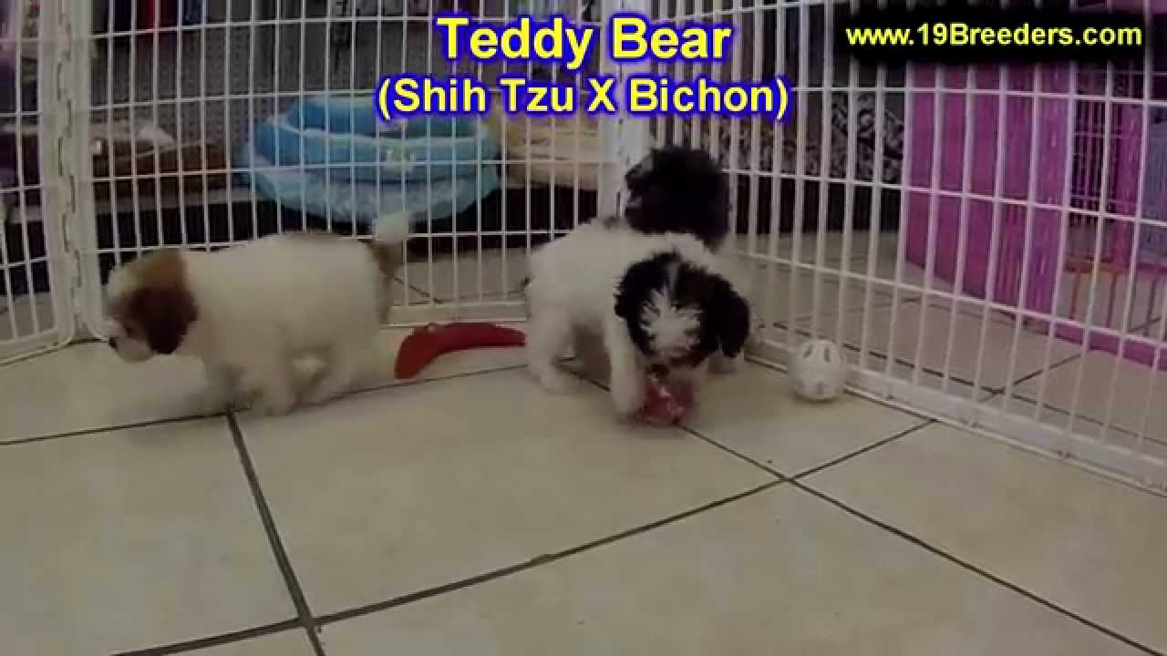 Teddy Bear, Puppies, Dogs, For Sale, In Chicago, Illinois ...