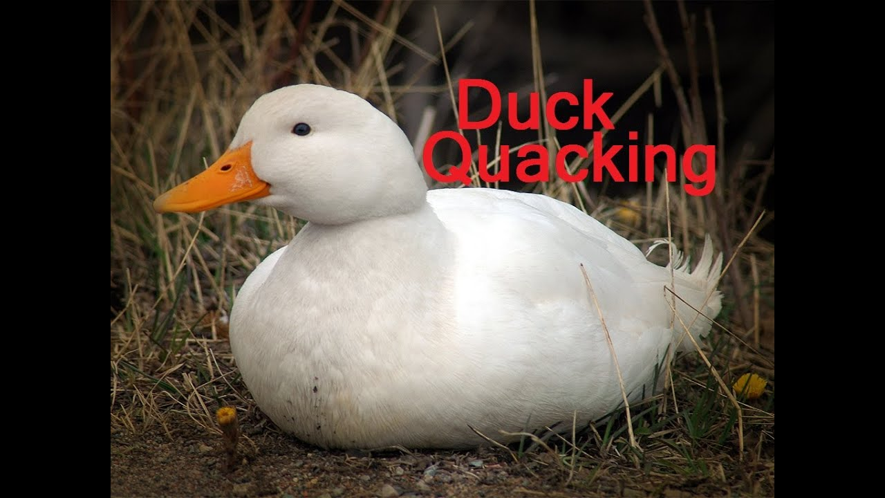 Duck Quacking Sound