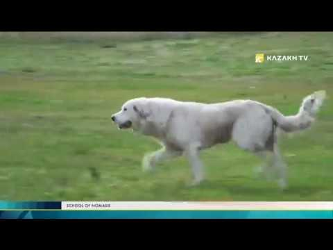 The school of nomads №4. The dogs of inhabitants of steppe regions