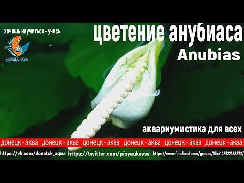 цветение анубиасов, Anubias, аквариумные растения, аквариумистика, aquaristics, Aquaristik
