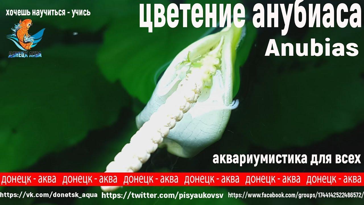 Amazing, цветение анубиасов, Anubias, аквариумные растения, аквариумистика, aquaristics, Aquaristik